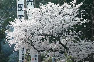08zinzyasakura1.jpg
