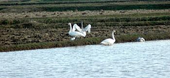 白鳥の湖?