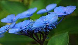 碩碑の紫陽花