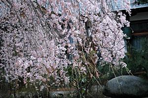 龍覚寺のしだれ桜