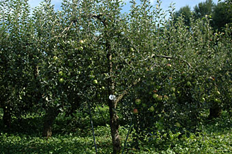 山下農場リンゴ園