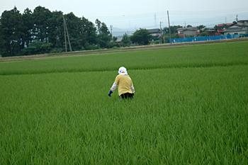 田の草とり 無農薬
