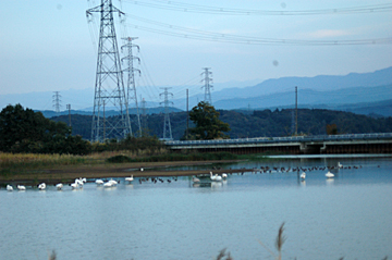 保倉の池 白鳥